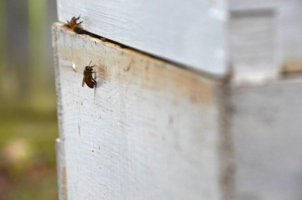 Honeybees on hive